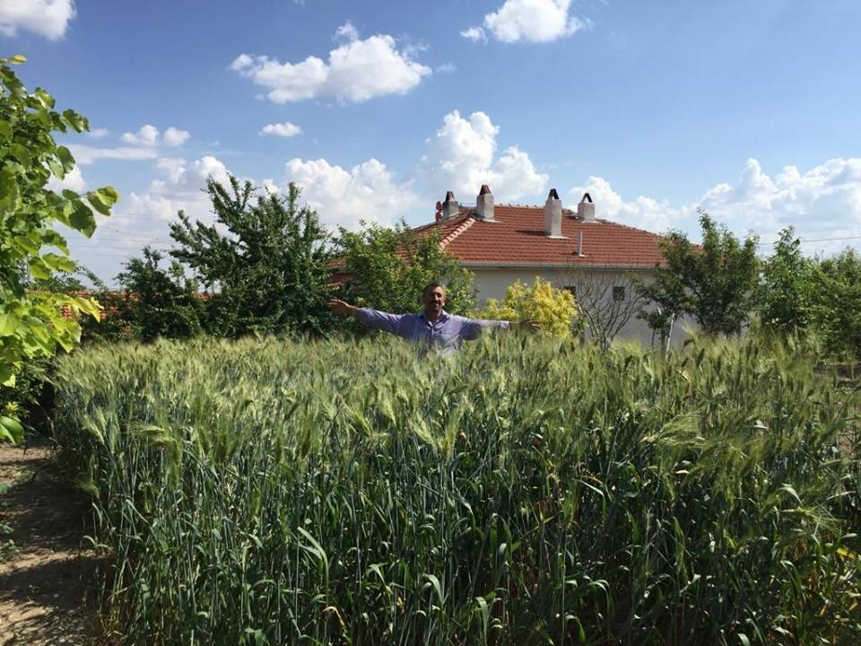 Siyez Buğday'ında Hasat Zamanı